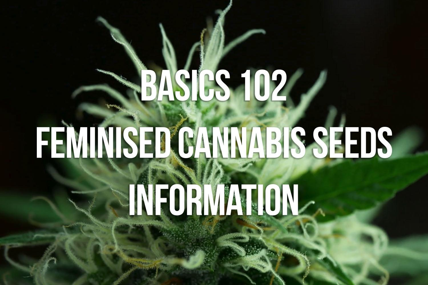 Basics 102: Feminised Cannabis Seeds Information