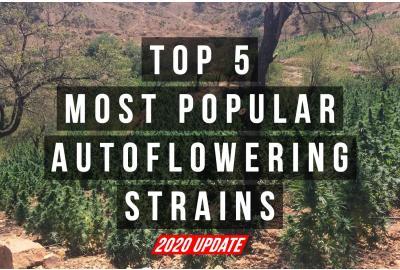 Top 5 Autoflower Strains (2020 UPDATE)