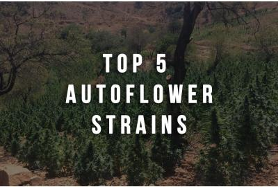 Top 5 Autoflower Strains