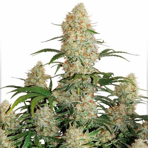 Royal Critical Auto Cannabis Seeds - Royal Queen Seeds