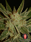 bubble-gum-6pack-fem-serious-seeds-amsterdam-seed-center-2