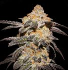 french-cookies-5pack-fem-th-seeds-amsterdam-seed-center-1