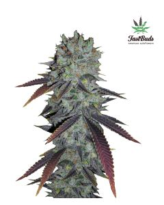 fastberry-5pack-auto-fast-bud-seeds-amsterdam-seed-center
