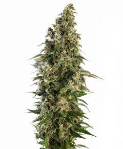 afghani#1-autoflowering-sensi-seeds