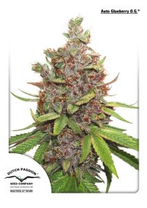 auto-glueberry-og-dutch-passion-amsterdam-seed-center