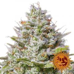blue-gelato-41-5pack-feminised-barneys-farm-amsterdam-seed-center