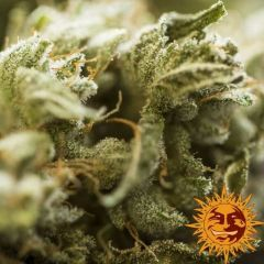critical-kush-barneys-farm-amsterdam-seed-center-3