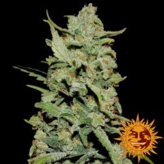 peyote-critical-feminised-5pack-barneys-amsterdam-seed-center