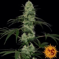 tangerine-dream-auto-feminised-5pack-barneys-amsterdam-seed-center