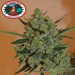 Blue Cheese Automatic - 10-pack