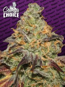 blue-kush-berry-chongs-choice-paradise-seeds-amsterdam-seed-center
