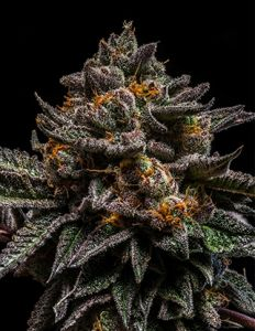 Brain Cake - 5PACK - Feminized - Ripper Seeds
