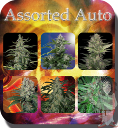 assorted-auto-10pack-buddha-seeds