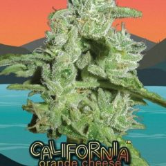 california-orange-cheese-5pack-big-buddha-seeds-amsterdam-seed-center