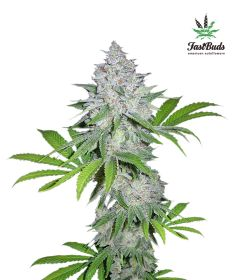 californian-snow-5pack-auto-fast-bud-seeds-amsterdam-seed-center