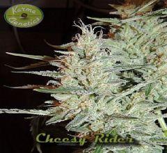 cheesy-rider-regular-12pack-karma-amterdam-seed-center