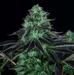 darkstar-kush-5pack-reg-th-seeds