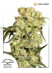 freddys-best-dutch-passion-amsterdam-seed-center