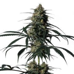 green-doctor-5pack-fem-mmgenetics