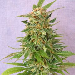 ginger-punch-auto-kannabia-amsterdam-seed-center