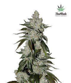 girl-scout-cookies-5pack-auto-fast-bud-seeds-amsterdam-seed-center