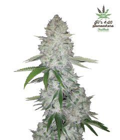 gorilla-glue-5pack-auto-fast-bud-seeds