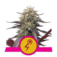 green-punch-royal-queen-seeds-amsterdam-seed-center-3