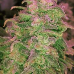 hawaii-maui-waui-5pack-nirvana-seeds