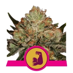 hulkberry-royal-queen-seeds-amsterdamseedcenter-1