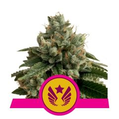 legendary-punch-royal-queen-seeds-amsterdam-seed-center