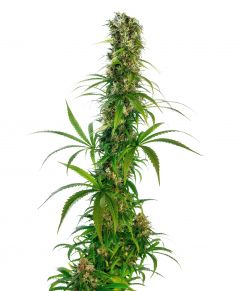michka-regular-sensi-seeds-amsterdam-seed-center