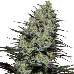 Morpheus - 5pack - Feminised - Buddha Seeds