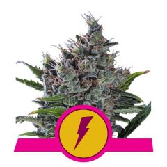 North Thunderfuck - Feminized - Royal Queen Seeds