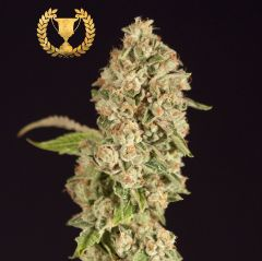 og-reekn-5pack-fem-devils-harvestamsterdam-seed-center
