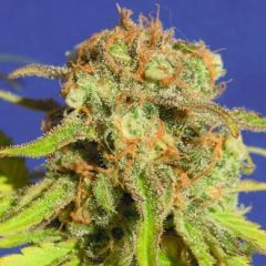 Bruce Banner #3 Auto - 5-pack