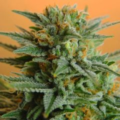 papaya-5pack-feminized-nirvana-seeds