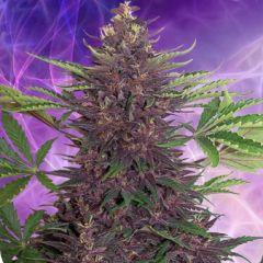 Buddha Purple Kush