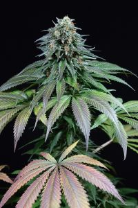purple-moby-dick-dinafem-amsterdam-seed-center