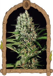 quick-mass-5pack-feminised-exotic-seed-amsterdam-seed-center