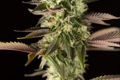 remo-chemo-feminised-dinafem-amsterdam-seed-center-3
