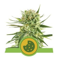 royal-cookies-automatic-royal-queen-seeds