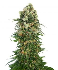 shiva-skunk-autoflowering-sensi-seeds