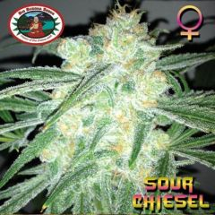 Sour Chiesel - 5PACK