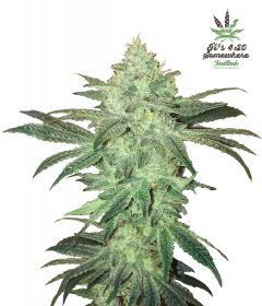 stardawg-5pack-auto-fast-bud-seeds-amsterdam-seed-center