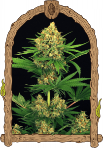 tangerine-kush-5pack-feminised-exotic-seeds-amsterdam-seed-center