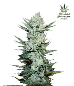 tangie-matic-5pack-auto-fast-bud-seeds-amsterdam-seed-center