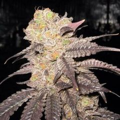 Purple Diesel - 6-pack