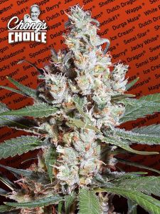 la-amnesia-chongs-choice-paradise-seeds-amsterdam-seed-center