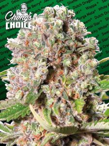 mendochino-skunk-chongs-choice-paradise-seeds-amsterdam-seed-center