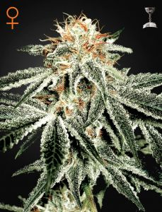 white-widow-fem-5pack-green-house